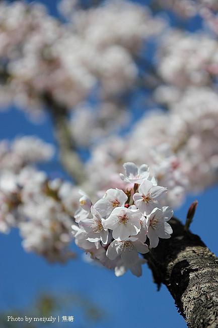 2011阿里山櫻花季晴天版19