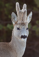 Roe Deer (filip80) Tags: deer roe roedeer rådyr