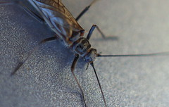 Gnat macro (Xanis_WFN) Tags: macro insects bugs pentaxkx pentaxsmcpda35mmf28