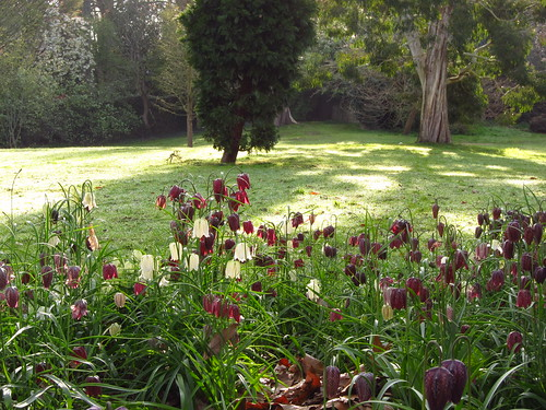 Snake's Head Fritillaries in Cannizaro Park, Wimbledon