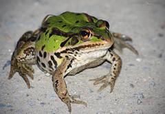 Ranocchia (Andrea - Lupinoweb) Tags: nature animal canon italia wildlife natura frog piemonte rana animale candia anfibio parconaturale riproduzione migrazione rospo canavese lagodicandia