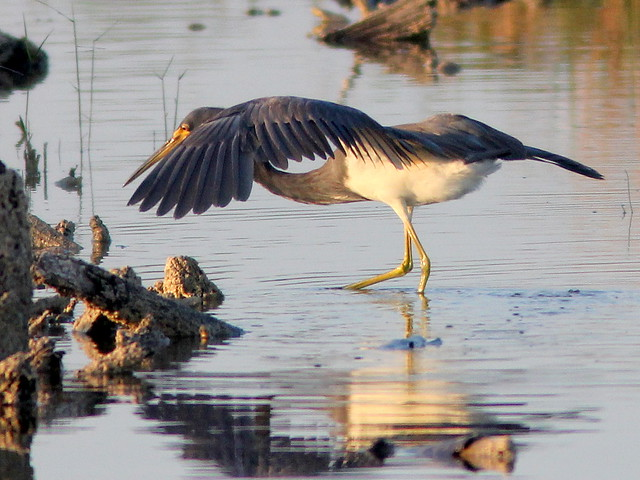 Tricolored Heron dance 2-20110408