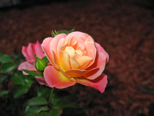 peach drift rose 2