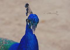 ! الـﮕبر لله (Abdulaziz Al-Mannаi || آستغفر الله) Tags: blue green zoo colorful doha طاووس do7a الوان أزرق dohazoo أخضر حديقة الحيوان المناعي حديقةالحيوان almannai aalmannai