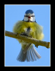 Singing with JOY!! (Levels Nature) Tags: uk blue england sky cute bird nature spring colours tit singing little joy fluffy somerset sing titmouse bluetit westonzoyland abigfave saariysqualitypictures carlsbirdclub blinkagain bestofblinkwinners