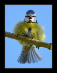 Singing with JOY!! (Levels Nature) Tags: uk blue england sky cute bird nature spring colours tit singing little joy fluffy somerset sing titmouse bluetit westonzoyland abigfave saariysqualitypictures carlsbirdclub blinkagain bestofblinkwinners