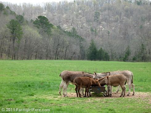 Dogwoods in Donkeyland