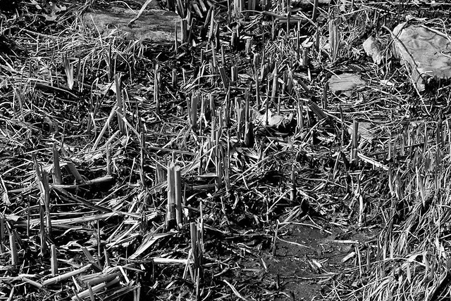 Ogden gardens april 2011 broken reeds