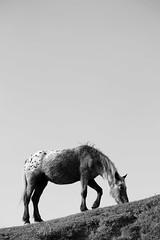 Horse (SHiVx.) Tags: horse blancoynegro caballo blackwhite bin