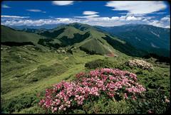 合歡東峰步道5、6月杜鵑花盛開。蔡世垚攝,林務局提供。