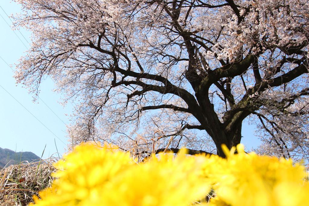 Sakura Photo 2011Wanizuka cherry blossom (12)