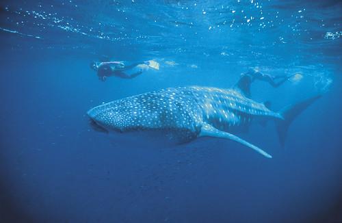 Whale shark - 000256.jpg