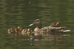 "Can I get  ""ducky-back"" ride? (radmira) Tags: boston duck massachusetts duckling commons"