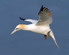 Gannet 2 (Andrew Haynes Wildlife Images ( away for a while )) Tags: bird nature wildlife flight gannet rspb bemptoncliffs canon7d ajh2008
