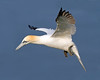 Gannet 2 (Andrew Haynes Wildlife Images) Tags: bird nature wildlife flight gannet rspb bemptoncliffs canon7d ajh2008