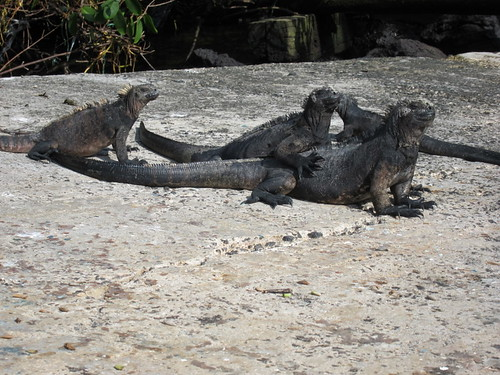 Three Marine Iguanas