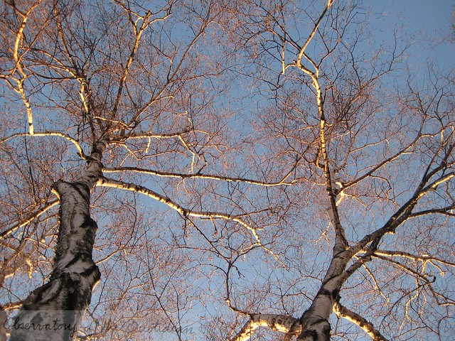 birch_tree01.JPG