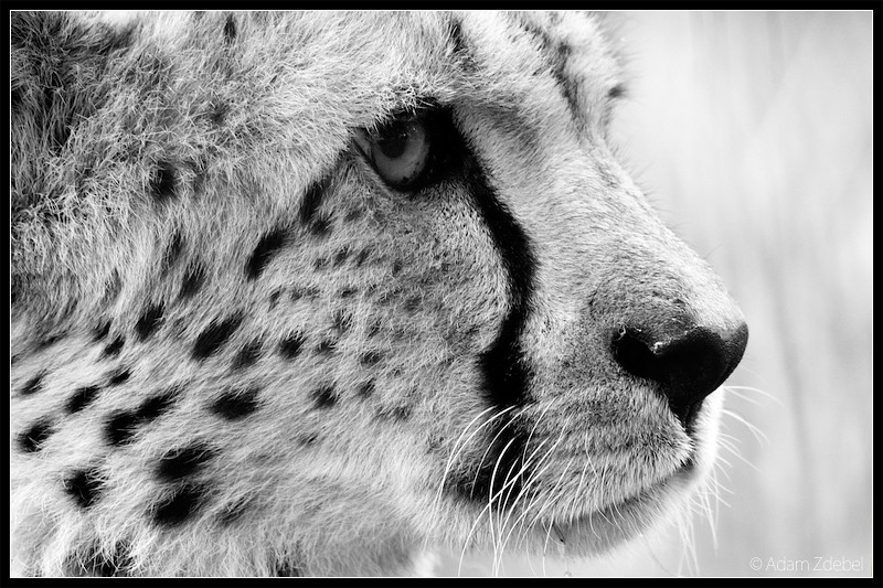 Cheetah - portrait