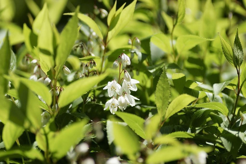 Deutzia gracilis 1