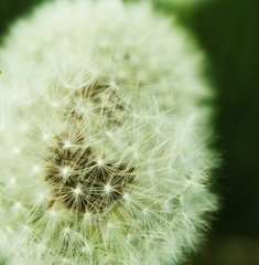 Float Away. (lizzyhillier) Tags: macro clock up weed close fluffy away dandelion float