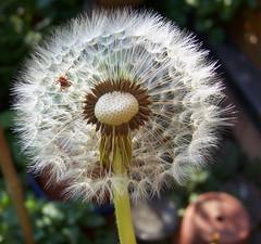 Wer kuckt denn da ? (marion streich) Tags: beetle dandelion pusteblume handselectedphotographs wonderfulplanetearth