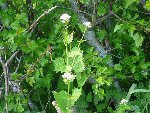 Garlic Mustard (Alliaria petiolata) by Peter Orchard