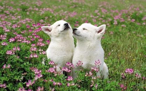 [フリー画像] 動物, 哺乳類, 犬・イヌ, 子犬・小犬, 201104301100