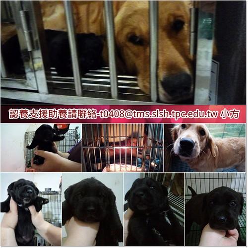 「支援助認養」從員林收容所救出的黃金獵犬YAMI小姐,治療過程中生了兩個黑寶寶,需要醫療支援助認養,謝謝您~20110430