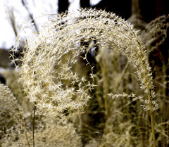 curly dry grass (be my butterfly) Tags: flower macro nature beautiful grass garden seeds curly