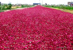 A Walk on Roses (Tanwir Jogi) Tags: travel pakistan roses beautiful trekking trek walk traveling tours lahore treks jogi beautifulpakistan trekkinginpakistan tanwir travelinginpakistan trekkerz thetrekkerz tourisminpakistan tanwirjogi thetrekkerzcom