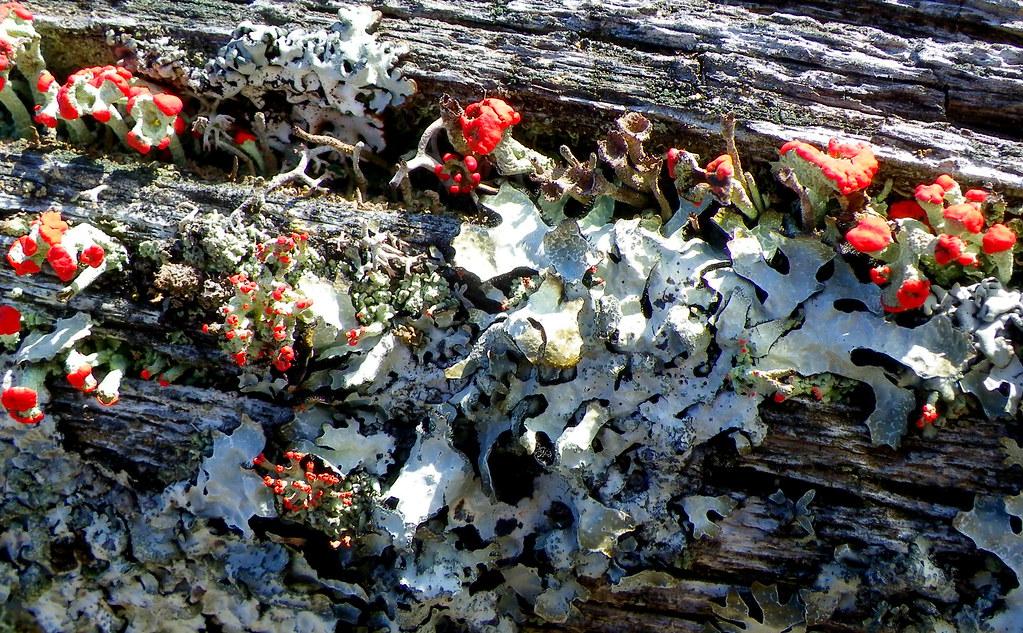 it is lichen on a fence!