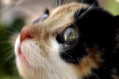 001513 D 300 (Massimo Marchina) Tags: italy animals cat italia gato katze gatto vicenza veneto mimì afmicronikkor105mm128d