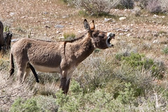 Wild-Burro-with-erect-penis-braying-in-Red-Rock-Canyon-national-conservation-area-Nevada-002.jpg (RogueSocks) Tags: redrockcanyon cactus mountain plant weather animal cacti landscape day desert lasvegas nevada donkey sunny foliage clear burro geology redrock jackass desertlandscape erect desertplant nevadadesert bluediamond bonniesprings wilddonkey timeofday wildburro springmountainranchstatepark desertfoliage geologicformation donkeypenis nevadausa redrockcanyonnevada redrockcanyonlasvegas plantsandfoliage redrockburro redrockcanyonvegas nevadawildburro burropenis erectburropenis erectdonkeypenis wildjackass