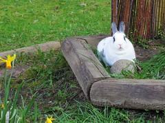 Rory Guards A Rock (Anomieus) Tags: pet cute rabbit bunny bunnies animal spring furry konijn dwarf conejo tail ears crocus rory netherland rabbits paws coney coelho lapin himalayan kaninchen houserabbit coniglio lop sealpoint cottontail ウサギ cony lopeared kanin кролик netherlanddwarf królik leporidae nyúl κουνέλι iepure заяц leporid กระต่าย 집토끼 兔子的毛皮 kunić питомен