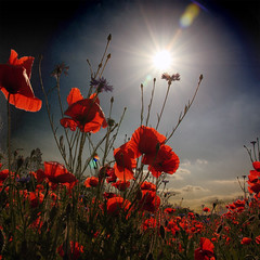 ~ poppy magic ~ (~ Pixel Passion ~) Tags: flowers blue light shadow red summer sky orange plants sun white plant black flower green nature field silhouette yellow clouds landscape spring war shiny shine natural meadow sunny lensflare poppy poppies sunrays vignette lensflares cornflowers