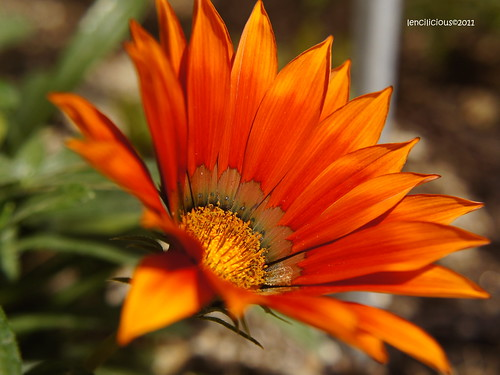 Orange Bloom by lencilicious
