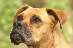 Pitty (jazzpics) Tags: dog co hund cachorro boxer
