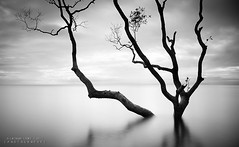 The Catcher In The Rye (Lockie Cooke) Tags: ocean longexposure morning trees bw beach water canon bay blackwhite waves smooth australia brisbane calm mangrove zen qld 1740mm mangrovetree nudgee thecatcherintherye nudgeebeach zentree 5dmkii lockiecooke