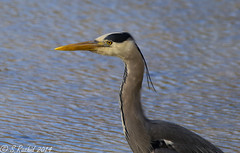 grey Heron (Bishopbriggs and Glasgow Wildlife) Tags: park city uk family wild urban fish heron nature water canon neck lens eos grey scotland spring fishing long natural britain glasgow wildlife tag centre united sigma kingdom os ardea add bbc fisher april species british tall wading dg herons bishopbriggs cinerea springwatch hsm 60d 120400 120400mm