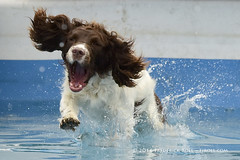 Can't fight this sinking feeling ( Freddie) Tags: kent detling kentcountyshowground pawsinthepark dashnsplash spaniel dog springerspaniel