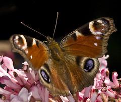 Make my day (5) 2011-03-22 (John de Grooth) Tags: copyright macro butterfly papillon tuin lente dagpauwoog vlinders vlinder copyrighted voorjaar vroeg schoenlapper johndegrooth beginlente wwwjohndegroothnl info0599615058
