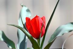 Tulipa montana (Mat.Tauriello) Tags: bulb nikon mediterranean lily tulips tulip bulbs bulbous tulipa tulipano 3100 tuberose liliaceae liliales monocotyledons geophyte geophytes nikon55200mmf456gedifafsdxvrzoom lilioideae autumn2010 bulbgeophyte d3100 nikond3100 tulipamontana tulipawilsoniana