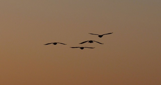 24046 - Canada Geese at sunset