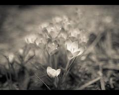 fleeting (sebboh) Tags: flowers bw spring bokeh crocus sonynex3 rokkormdw28mmf2