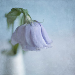 Lisianthus (borealnz) Tags: blue painterly flower texture square stem soft purple faded vase fading drooping wilting gentle lisianthus cutflower bsquare flypapertextures