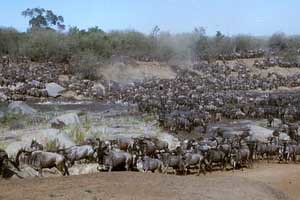 THE MAASAI MARA WILDEBEEST MIGRATION SAFARI