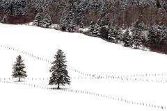 Apart From The Crowd (ICT_photo) Tags: winter snow tree fence post quebec hill line saintgeorges ictphoto ianthomasguelphontario