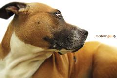 Buba ([modern pet] photography) Tags: italy pets dogs canon italia buba cani sanbenedettodeltronto petphotography dimarzio animalidacompagnia animalidomestici modernpet fotografiapet modernpetit massimodimarzio