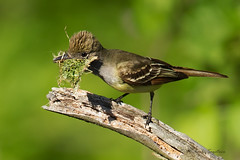 _53F5544-Edit Nest Building (~ Michaela Sagatova ~) Tags: bird nature dundas nesting flycatcher greatcrestedflycatcher myiarchuscrinitus dvca michaelasagatova