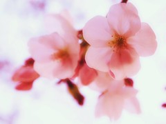 Sakura (mayauxo) Tags: pink flower cherry spring bokeh blossoms sakura cherryblossoms